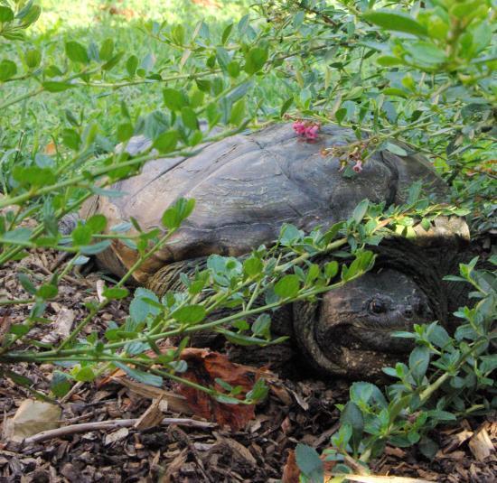 dino la tortue